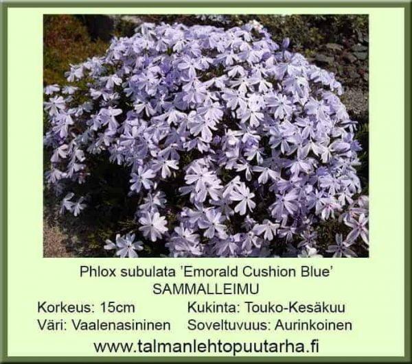 Phlox subulata 'Emorald Cuschion Blue' Sammalleimu