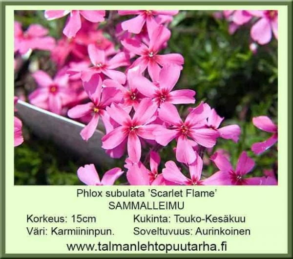 Phlox subulata 'Scarlet Flame' Sammalleimu