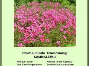 Phlox subulata 'Temiscaming' Sammalleimu