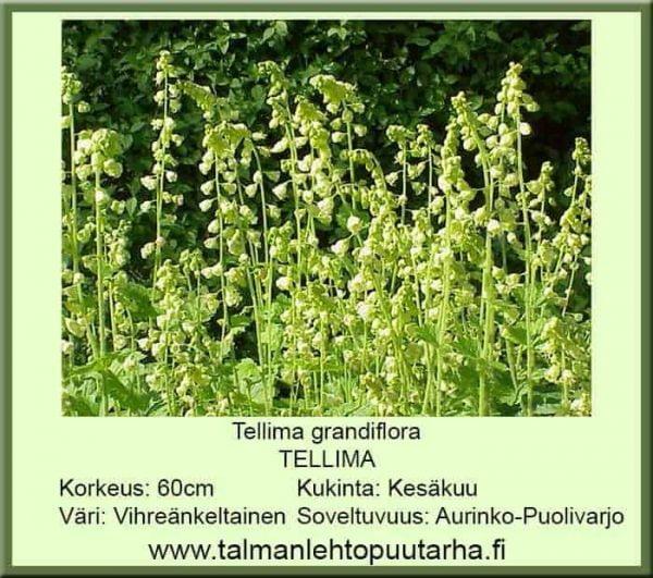 Tellima grandiflora - Tellima 1