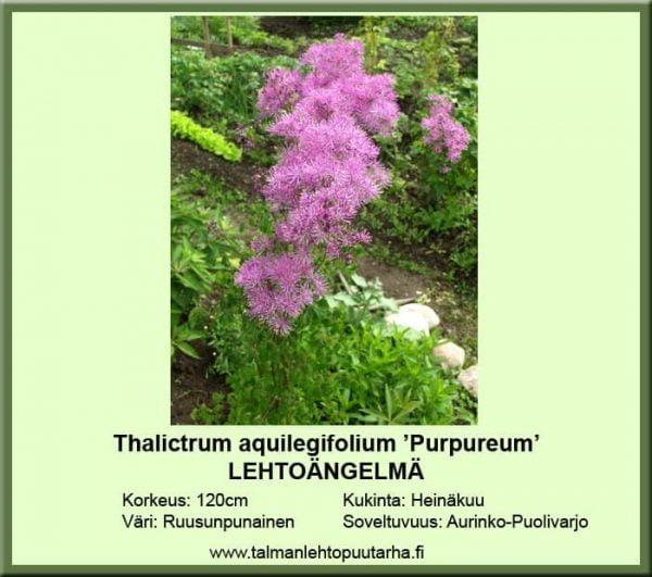 Thalictrum aquilegiif. 'Purpureum' Lehtoängelmä