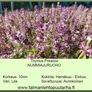 Thymus praecox Nummiajuruoho