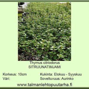 Thymus citriodorus moniv. sitruunatinjami