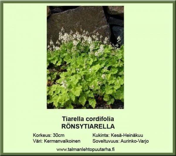 Tiarella cordifolia Rönsytiarella