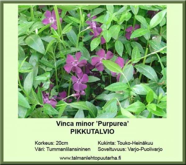 Vinca minor 'Purpurea' Pikkutalvio