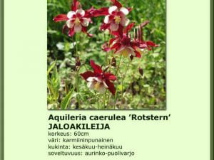 Aquilegia Caerulea-Hybr. 'Rotstern'