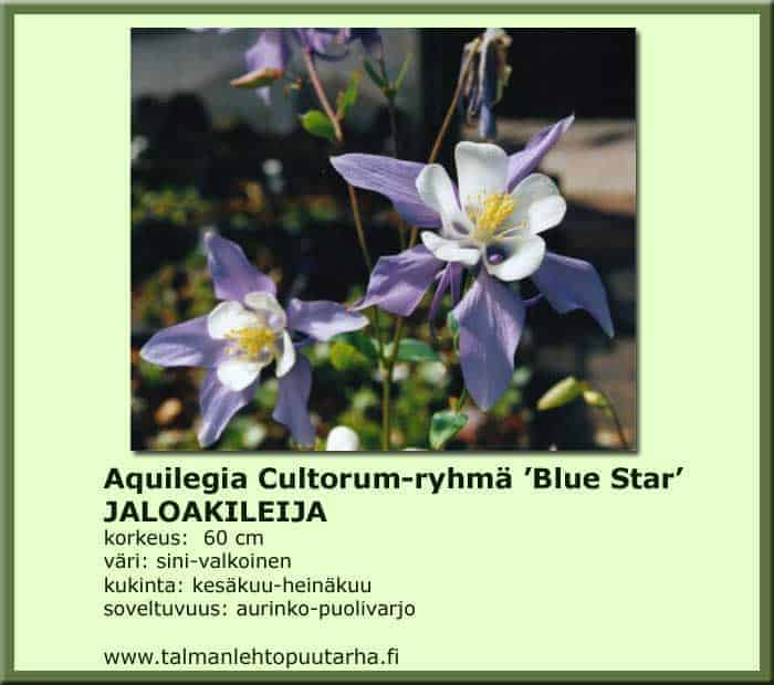 Aquilegia Caerulea-Hybr. 'Blue Star'