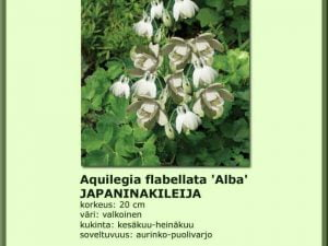 Aquilegia flabellata 'Alba'