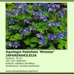 Aquilegia flabellata 'Ministar'
