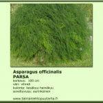 Asparagus officinalis 'Gijinlimin' Parsa