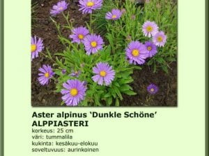 Aster alpinus 'Dunkle Schöne' Alppiasteri