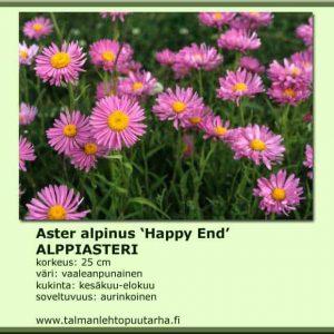 Aster alpinus 'Happy End' Alppiasteri