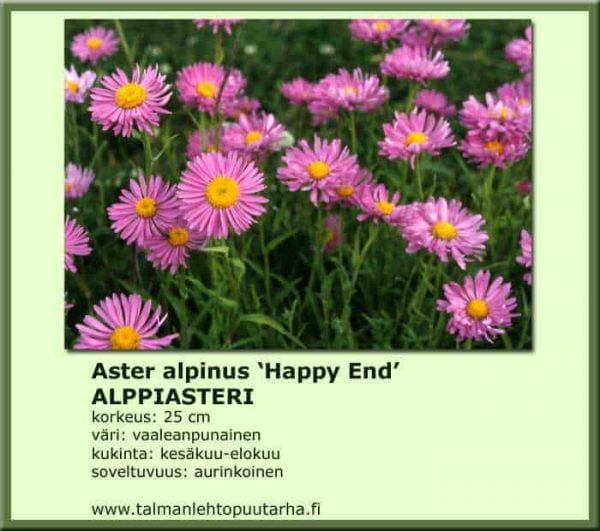Aster alpinus 'Happy End' Alppiasteri