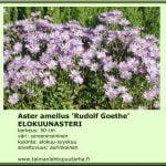 Aster amellus 'Rudolf Goethe' Elokuunasteri