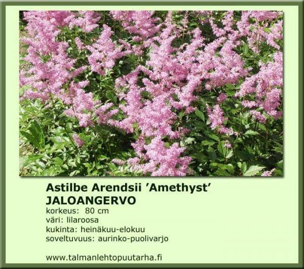 Astilbe Arendsii 'Amethyst' Jaloangervo