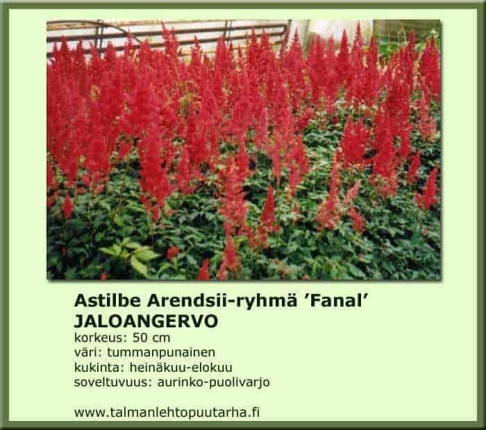 Astilbe Arendsii 'Fanal' Jaloangervo