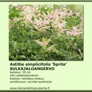 Astilbe simplicifolia 'Sprite' Sulkajaloangervo