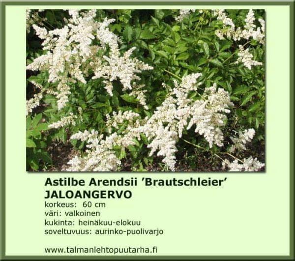 Astilbe Arendsii 'Brautschleier' Jaloangervo