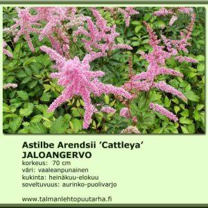 Astilbe Arendsii 'Cattleya' Jaloangervo