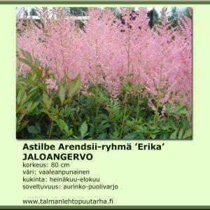 Astilbe Arendsii 'Erika' Jaloangervo