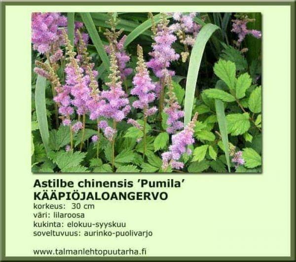 Astilbe chinensis 'Pumila' Kääpiöjaloangervo