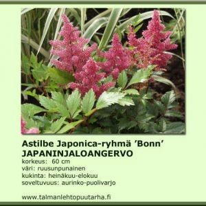 Astilbe Japonica 'Bonn' Japaninjaloangervo