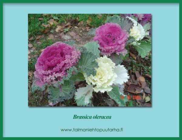 Brassica Oleracea Ruusukaali