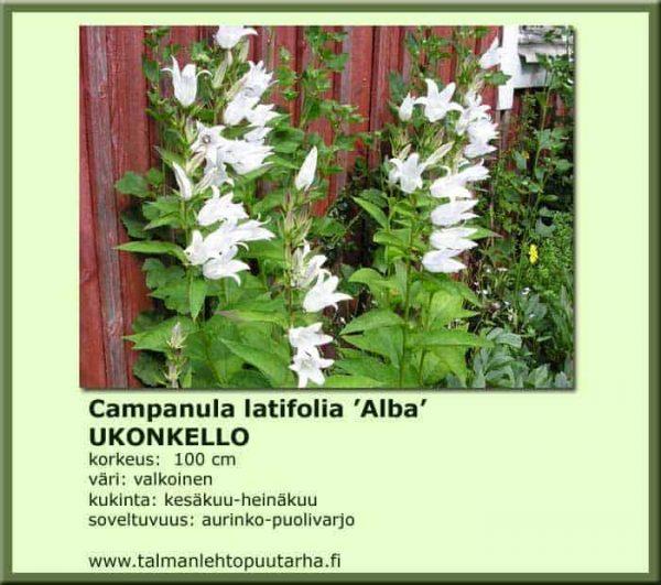 Campanula latifolia var. macrantha 'Alba' Ukonkello