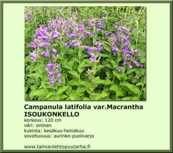 Campanula latifolia var. Macrantha Isoukonkello