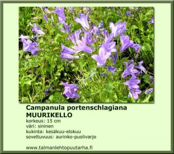 Campanula portenschlagiana Muurikello