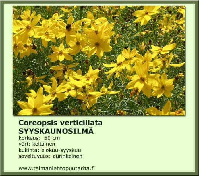 Coreopsis verticillata Syyskaunosilmä
