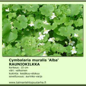 Cymbalaria muralis 'Alba' Rauniokilkka