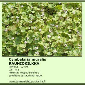 Cymbalaria muralis Rauniokilkka