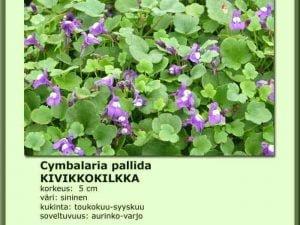 Cymbalaria pallida Kivikkokilkka