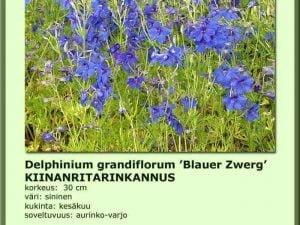 Delphinium grandifl. 'Blauer Zwerg' Kiinanritarinkannus