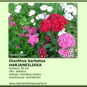 Dianthus barbatus Marjaneilikka