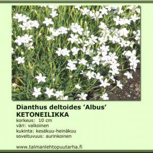 Dianthus deltoides 'Albus' Ketoneilikka