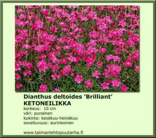 Dianthus deltoides 'Brilliant' Ketoneilikka