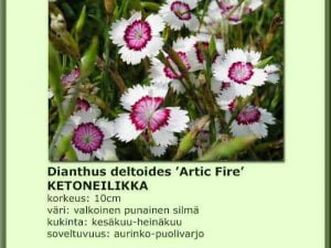 Dianthus deltoides 'Artic Fire' Ketoneilikka