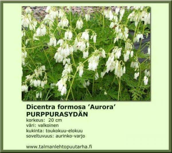Dicentra formosa 'Aurora' Purppurasydän