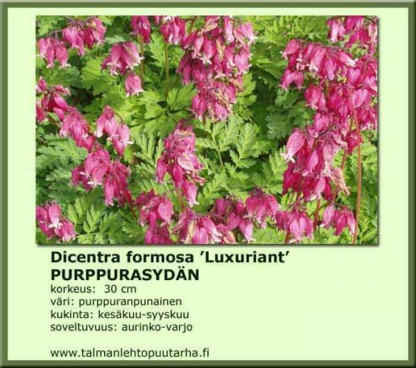 Dicentra formosa 'Luxuriant' Purppurasydän