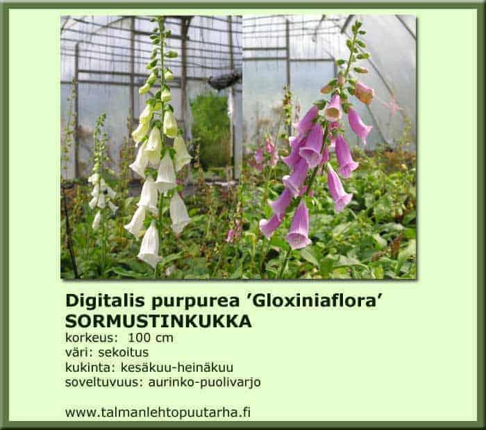 Digitalis purpurea 'Gloxiniaflora' Sormustinkukka