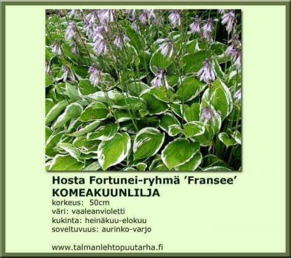 Hosta For.-Ryhmä 'Fransee' Komeakuunlilja