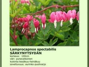 Lamprocapnos spect. (Dicentra) Särkynytsydän