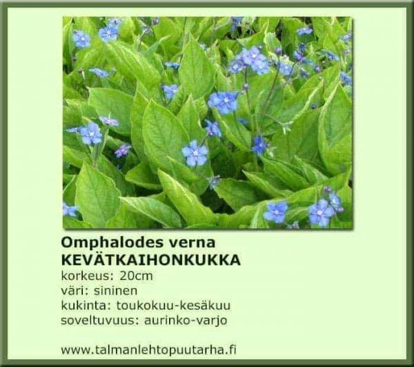 Omphalodes verna Kevätaihonkukka