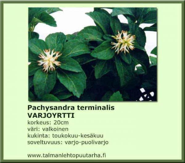 Pachysandra terminalis Varjoyrtti