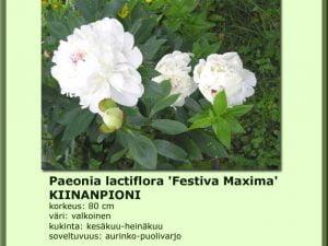 Paeonia lactiflora 'Festiva Maxima' Kiinanpioni