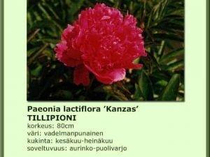 Paeonia lactiflora 'Kanzas' Tillipioni