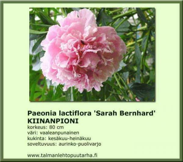 Paeonia lactiflora 'Sarah Bernhardt' Kiinanpioni