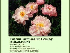 Paeonia lactiflora 'Dr Fleming' Kiinanpioni